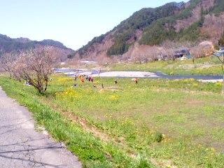 菜の花・河川敷5