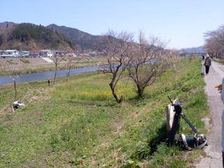 菜の花・河川敷12