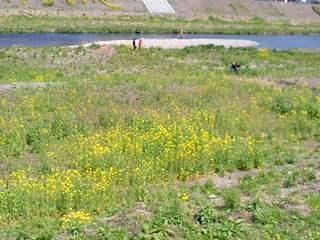 菜の花・河川敷10