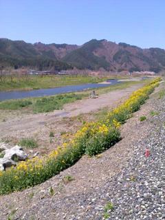 菜の花・河川敷4