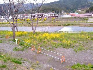 菜の花河川敷3