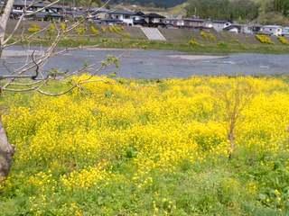 菜の花河川敷2